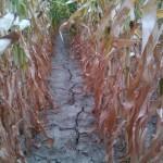 extreme Trockenheit im Weinviertel 2013