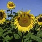 Phaenologie Sonnenblume | meteonex.at