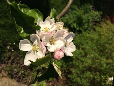 Vollfrühling Blüte Apfel